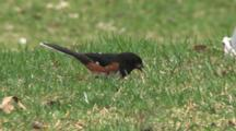 Eastern Towhee Feeding On Ground, White Throated Sparrow Feeds Through Frame