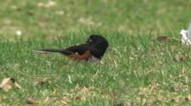 Eastern Towhee Feeding On Ground, Watching Sky