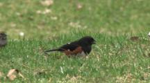 Eastern Towhee Feeding On Ground, Chases Off Female White Throated Sparrow