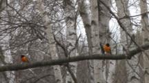 Orioles Sitting On Branch Among Birch Trees, Looking Around, One Exits