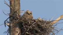 Great Horned Owl Chicks, Resting, Sleeping In Nest In Tree