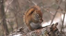 Red Squirrel Peels, Efficiently Eats Entire Pine Cone