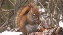 Red Squirrel Peels, Efficiently Eats Entire Pine Cone, Exits