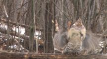Ruffed Grouse In Snowfall Walks Along Log, Positions, Drums Wings