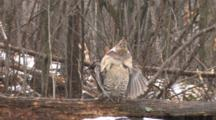 Ruffed Grouse Standing In Snowfall On Log, Zoom Out To Grouse Drumming Wings
