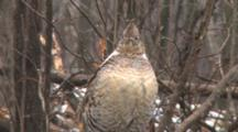 Ruffed Grouse, Tired, Standing In Snow And Sleet, Early Spring