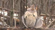 Ruffed Grouse Standing In Snowfall On Log, Drums Wings