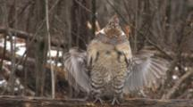 Ruffed Grouse Drumming On Log, Leaves One Wing Down Afterwards