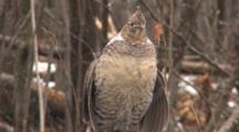 Ruffed Grouse Standing In Snowfall, Drumming Wings