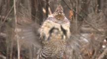 Ruffed Grouse Standing In Snowfall, Drumming Wings In Display