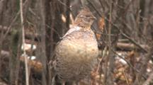 Ruffed Grouse, Closing Eyes, Trying To Stay Warm, Standing In Snow And Sleet