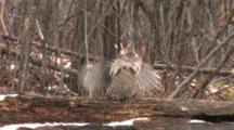 Ruffed Grouse Standing On Log In Snowfall, Drumming Wings In Display