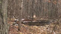 Ruffed Grouse, Standing On Log In Forest, Snow And Sleet Falling