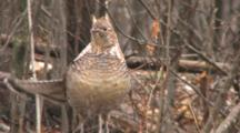 Ruffed Grouse On Log In Snowstorm, Wags Tail, Drums Wings In Display
