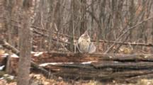 Ruffed Grouse Standing On Log In Woods, Snow Falling, Zoom To Cu, Drumming