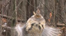 Ruffed Grouse Standing, Snow Falling, Drums Wings In Display