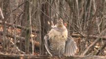Ruffed Grouse On Log, Drumming, Light Snow Begins Falling