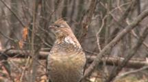 Ruffed Grouse On Log In Forest, Looking Around, Snow And Sleet Falling