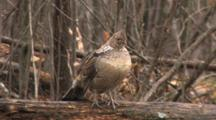 Ruffed Grouse Resting In Forest On Log, Looks Quickly To Right