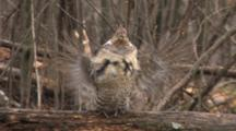 Ruffed Grouse On Log, Drumming, Light Snow Falling
