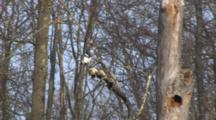 Belted Kingfisher On Branch, Surveying Water Beneath