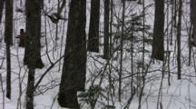 American Birkebeiner Skiers, Racing In Dense Woods, Child Walking On Trail
