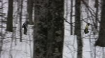 Tracking American Birkebeiner Skiers On Ski Trail Through Dense Woods