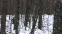 Tracking American Birkebeiner Skier, Drinking Water On Ski Trail Through Dense Woods
