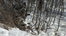 Mourning Doves Sunning In Morning Light On Brushpile