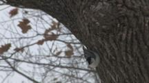 White-Breasted Nuthatch Feeding Upside Down On Tree, Snowing