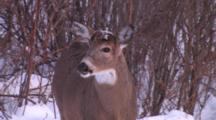 White-Tailed Deer Buck Showing Recent Antler Loss