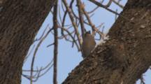 Pine Grosbeak Eating Snow Exits Left