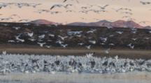 Flock Of Sandhill Cranes And Snow Geese Others Slowly Landing
