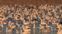 Snow Goose Flock In Water With Sandhill Cranes