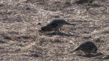 Gambel's Quail Scratching And Feeding