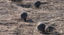 Gambel's Quail Feeding And Chasing