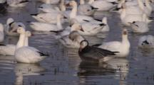Snow Goose Flock With Blue Morph In Foreground