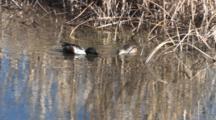 Northern Shovelers Feeding Among Reeds