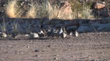 Scaled Quail Group Mingling, One Flies Through Screen