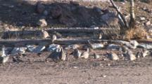 Scaled, Gambel's Quail And Black Throated Sparrow Mingling
