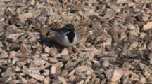 Black-Throated Sparrow Feeding Among Rocks