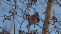 Common Redpoll On Branch, Exit Bottom