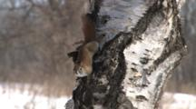 Red Squirrel On Birch Tree Drums Feet, Exits Top