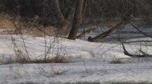 River Otter Running Along Riverbank Toward Camera