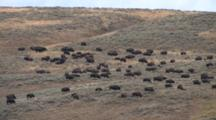 American Bison Herd Grazing On Prairie