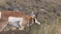 Pronghorn Antelope Buck Rubs Eye Gland On Shrub, Runs Toward Camera