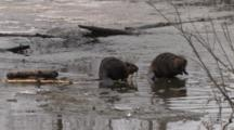 American Beaver Sitting By Ice Hole, Joined By Another, Then Submerges