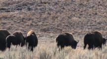 American Bison Bulls Walking, Quartering Away
