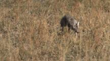 Coyote Hunting For Prey, Walking Toward Camera