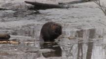 American Beaver Sitting By Open Hole In Ice Sniffing For Danger